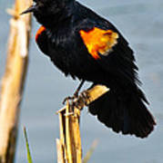 Male Red-winged Blackbird Poster