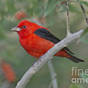Male Scarlet Tanager Poster