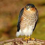 Male Sparrowhawk Poster