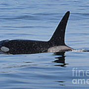 Male Transient Orca In Monterey Bay 11-10-13 Poster