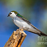Male Violet-green Swallow Poster