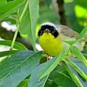 Male Warbler Poster