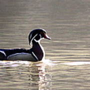 Male Wood Duck - Sucarnoochee  River Poster