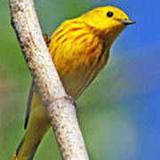 Male Yellow Warbler Poster