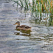 Mallard By The Reeds Poster