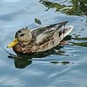Solitaire Mallard Duck Poster