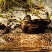 Mallard Duck Onaping Poster