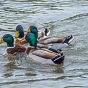 Mallard Ducks In Vee Formation Poster