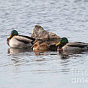Mallard Ducks Sleeping Poster
