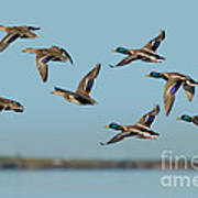 Mallard Flock Flying Poster