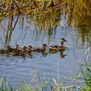 Mallard Hen And Ducklings Poster