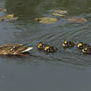 Mallard Mother With Ducklings Poster