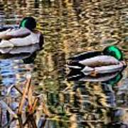 Mallards In The Reeds Poster