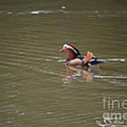 Mandarin Duck 20130507_45 Poster