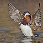 Mandarin Duck Flapping Away Poster