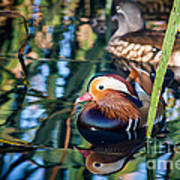 Mandarin Duck Reflections Poster