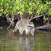 Mangrove Coon Poster by Bob Jackson