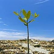 Mangrove Seedling On A Beach Poster