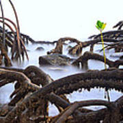 Mangrove Tree Roots Detail Poster