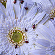 Many Ladybugs On White Daisy Poster by Garry Gay