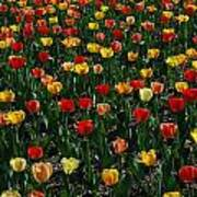 Many Tulips Poster