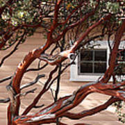 Manzanita Poster by Denice Breaux