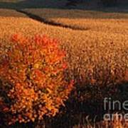Maple And Cornfield At Dawn Poster