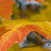 Maple Leaf Edges In Autumn Poster