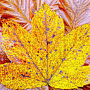 Maple Leaf In Fall Poster