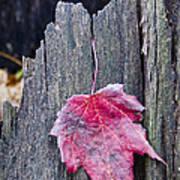 Maple Leaf - Uw Arboretum - Madison Poster