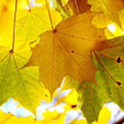 Maple Leaves In Autumn Glory Poster