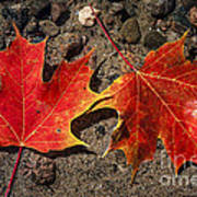 Maple Leaves In Water Poster