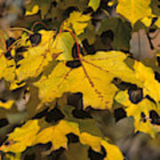 Maple Leaves With Tar Spot Poster