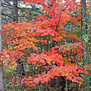 Maple Rush In The Fall Poster