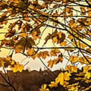 Maple Sunset Poster