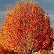 Maple Tree Poster