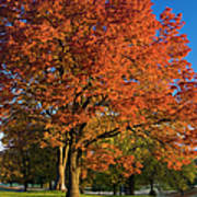 Maple Trees Poster