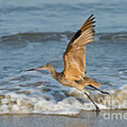 Marbled Godwit Taking Off On Beach Poster