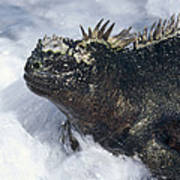 Marine Iguana In Surf Galapagos Islands Poster