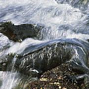 Marine Iguana Pair In Surf Galapagos Poster