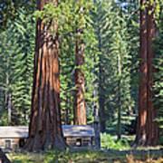 Giant Sequoias Mariposa Grove Poster