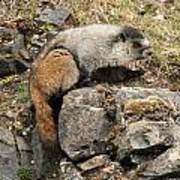Marmot 1 Poster
