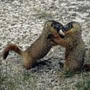 4m09150-02-marmot Fight Poster