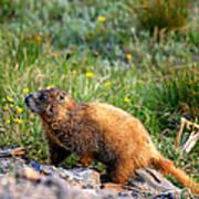 Marmot In Spring Poster by Rebecca Adams