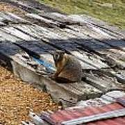 Marmot Resting On A Railroad Tie Poster
