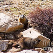 Marmots On Mount Evans Poster