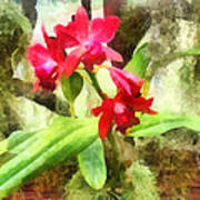 Maroon Cattleya Orchids Poster