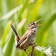 Marsh Wren Singing For Spring Poster
