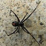 Maryland Black Widow Poster
