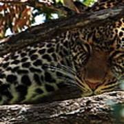 Masai Mara Leopard  Poster